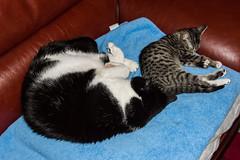 Lennie and Bella Snoozin'.... (shotokan101) Tags: friends sleeping cute together cuddly savannah bengal moggie