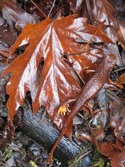 Taricha torosa, CALIFORNIA NEWT (openspacer) Tags: leaf maple amphibian salamander acer newt taricha jrbp sapindaceae jasperridgebiologicalpreserve