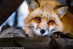 The Fox (red.howling) Tags: japan jp miyagiken shiroishishi