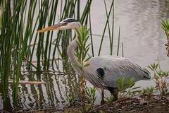 SanJoaquinWildlife-20 (rskim119) Tags: blue lake bird heron nature water animal landscape pond nikon san wildlife great reserve joaquin marsh tamron preserve sanctuary irvine shorebird 70300 irwd d3300