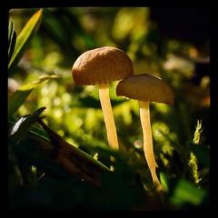 158/365 appoggiati a me #365 #365project #leanonme #mushrooms #photooftheday #nature #naturelovers #love #mothernature (Lorenzo Tombola) Tags: nature square mushrooms squareformat 365 mothernature photooftheday 365project nikond800 instagram