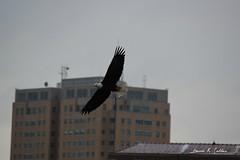 bright spot on a gray day (David Sebben) Tags: building bird nature river mississippi eagle dam bald iowa davenport midamerican