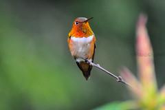 """Hummer ("""""""" Arun) Tags: canada bird vancouver hummingbird bc north annas humming"""