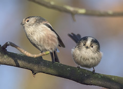 Long Tailed Tits on Branch