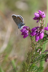 Silver-studded Blue on Heather (raggi di sole) Tags: blue england nature butterfly insect wings feeding heather lepidoptera heathland lycaenidae plebejusargus silverstuddedblue chobhamcommon