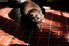 shadow lab (fallsroad) Tags: shadow dog lab chocolate servicedog labradorretriever hunter epilepsy tulsaoklahoma assistancedog seizureresponsedog