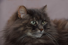 16/365 not just a cat (simo m.) Tags: beauty animals cat project fur 365 progetto