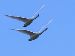 In sync (Carole Owens) Tags: swans