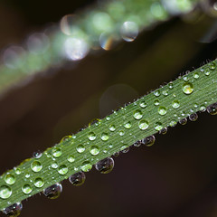 31/366 2016 - After the rains fell (fishyfish_arcade) Tags: macro green water grass rain droplets leaf nikon 365 366 d3200 wowiekazowie sigma105mmf28exdgoshsmmacro