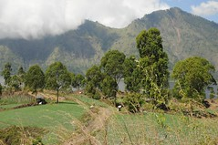 Landschaft in der Caldera des Batur; Bali, Indonesien (Chironius) Tags: trees bali tree indonesia rboles boom arbres rbol albero bume arbre rvore baum trd indonesien batur aa