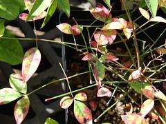 starr-080117-1814-Nandina_domestica-leaves-Walmart_Kahului-Maui (Starr Environmental) Tags: nandinadomestica