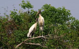 Cabeça-seca | Wood Stork (Mycteria americana)