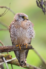 Une dame pas farouche (Franck Sebert) Tags: bird animal canon eos is mark iii ii 7d l common extrieur oiseau f28 kestrel tinnunculus falco fevrier 2016 faucon femelle crcerelle ef14x ef400mm