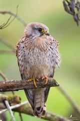 Une dame pas farouche (Franck Sebert) Tags: bird animal canon eos is mark iii ii 7d l common extérieur oiseau f28 kestrel tinnunculus falco fevrier 2016 faucon femelle crécerelle ef14x ef400mm
