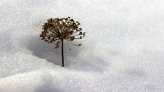 Hope. (Joseph Skompski) Tags: snow nature hope snowstorm seed maryland seeds seedpod catonsville catonsvillemd snowpocalypse matchpointwinner snowmageddon snowstorm2016 mpt493