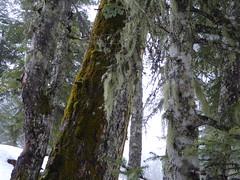Les Gets, usnea (Alta alatis patent) Tags: winter woods lesgets usnea