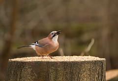 Jay-6481 (Kulama) Tags: winter nature birds jay wildlife warnham
