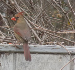 00blogpicDSCN2081 (CarverS2) Tags: bird cardinal