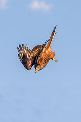 Diving Kite (nwg2008) Tags: uk red kite