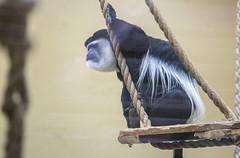 Colobus monkey (Hans van der Boom) Tags: netherlands animal monkey nederland nl colobus primate safaripark beeksebergen noordbrabant hilvarenbeek hilarenbeek