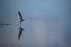 taking off (DML0mba) Tags: sea reflection bird seagull yarmouth tamron16300mmf3563diiivcpzdb016 kapechick