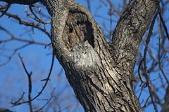 Eastern Screech Owl (featherweight2009) Tags: birds raptors owls birdsofprey easternscreechowl megascopsasio