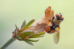 Late Gymnosoma (Cristian Arghius) Tags: macro insect fly naturallight canonmpe65mm focusstack gymnosoma canoneos5dmarkii zerenestacker rrstp243tripod arcaswisscubetripodhead