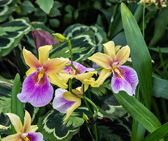 Miltonia (bric) Tags: flowers kewgardens orchids