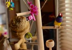 兩隻有點莫名的鳥 (Jenny Yang) Tags: pet bird lady finch 櫻花 gouldian 小綠 綠繡眼 小呆 胡錦鳥 小蕃茄