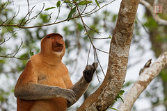 Hope (Rhapsody-In-Blue) Tags: nature monkey rainforest wildlife malaysia borneo sabah kinabatangan proboscis malaisie proboscismonkey longnez nasique bornéo nasalislarvatus kinabatanganriver sungaikinabatangan bekantan longnosedmonkey