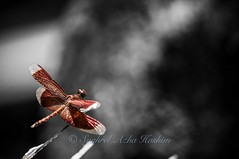 Red dragonfly (Syahrel Azha Hashim) Tags: light plant detail nature beautiful animal insect wings nikon colorful dof dragonfly bokeh wildlife naturallight malaysia handheld shallow moment simple invertebrate 200mm 55200mm selectivecoloring d300s syahrel