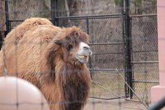 happy camel (theharv58) Tags: camels torontozoo bactriancamel torontocanada canon60d twohumpedcamels canonef50mmf18iilens canoneos60d canonefs18200mm13556islens