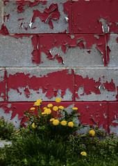 May (bill.d) Tags: red flower yellow wall lawrence spring unitedstates michigan unitedstatesofamerica sunny dandelion peelingpaint cinderblock vanburencounty explored eos60d