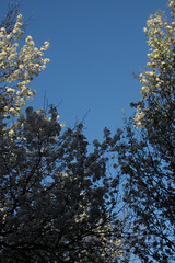 flowering trees (Molly Des Jardin) Tags: flowers blue trees sky usa white tree philadelphia garden spring pennsylvania branches blossoms flowering fairmount springgarden 2015 43215mm