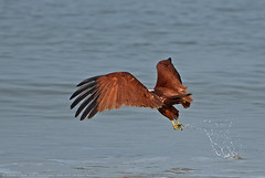 THE CATCH (GOPAN G. NAIR [ GOPS Photography ]) Tags: fish kite speed photography eagle fast falcon catch click prey hunt timing timely gops gopan gopsorg gopangnair gopsphotography
