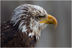 The magnificent bald eagle (FocusPocus Photography) Tags: bird animal eagle adler baldeagle haliaeetusleucocephalus tier vogel seeadler weiskopfseeadler