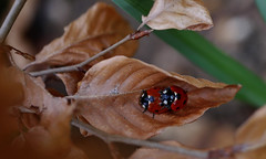 Loving on a leaf (yvonnepay615) Tags: nature insect lumix panasonic ladybird mygarden coth gh4