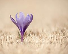 First up (dog ma) Tags: 2 flower macro nikon purple lavender crocus 105 nikkor dogma firstup d700 bestcapturesaoi elitegalleryaoi jodytrappephotography