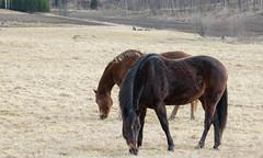 Horses (Yvonne L Sweden) Tags: horse march spring sweden roadtrip hage hst
