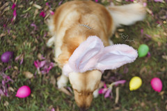 (Tc photography.Per) Tags: pink dog pet pets color cute rabbit bunny dogs smile goldenretriever 35mm canon easter golden costume happiness ears pascua kawaii easterbunny retiever tcphotography
