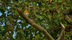 Rougegorge familier (FREDM69) Tags: des animaux foret oiseau rougegorge chant familier