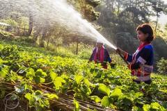 Watering Strawberry Field