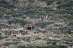 Red deers (Morze.Stefano) Tags: red deer rosso cervo cervus elaphus