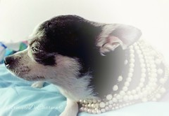 Silhouette - Dripping with pearls like Coco Chanel. (armuredecharme) Tags: pets paris love dogs portraits photography silhouettes pearls chihuahuas posh sideview furbabies cocochannel