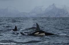 orcas (jacqy85) Tags: norway wildlife dolphins whales orcas killerwhales andenes noorwegen cetacean orka zwaardwalvis spekhoggere