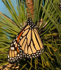 Sunbathing monarch (v4vodka (back in Poland)) Tags: butterfly insect monarch milkweed wanderer monarchbutterfly motylek motyl commontiger blackveinedbrown danaidusplexippus