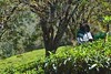 tea pickers (Rick Elkins Trip Photos) Tags: india workers tea kerala munnar teapickers