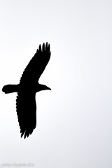 Raven (gudnyreykjalin) Tags: sky blackandwhite white nature animal iceland wilde whitebackground raven backround hsavk