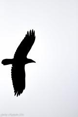 Raven (gudnyreykjalin) Tags: sky blackandwhite white nature animal iceland wilde whitebackground raven backround húsavík