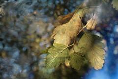 Fifteenmile Creek / Mt Talbert (Tony Pulokas) Tags: autumn blur tree fall oregon creek forest photoshop portland leaf stream bokeh pinhole motionblur tilt currant mttalbert fifteenmilecreek mounttalbert mounttalbertnaturepark